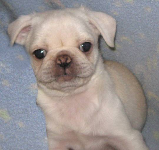 Yes, pugs come in white!