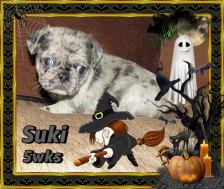 Yikes!  A witch and ghost and black cat and bat! - Merle Pug Puppies | If you pick up a starving dog and make him prosperous he will not bite you. This is the principal difference between a dog and man.