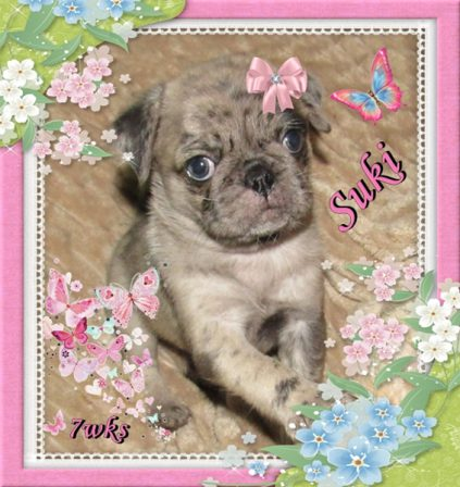 Suki aka Cookie - Merle Pug Puppies | Dogs love their friends and bite their enemies, quite unlike people, who are incapable of pure love and always mix love and hate.