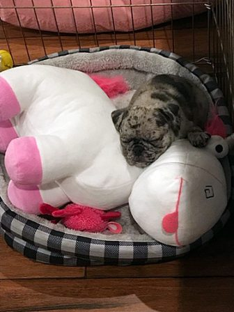 Suki aka Cookie dreaming with her unicorn - Merle Pug Puppies | The only creatures that are evolved enough to convey pure love are dogs and infants.