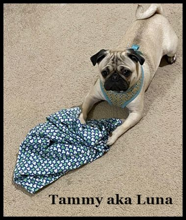 Tammy aka Luna from Brandy's Last Litter - Adult Fawn Pug | Even the tiniest dog is lionhearted, ready to do anything to defend home and family.