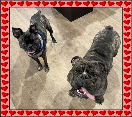 Tegan, Olde Boston Bugg, with her Bulldog friend - Adult Brindle Pug | If you pick up a starving dog and make him prosperous he will not bite you. This is the principal difference between a dog and man.