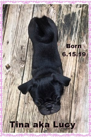 One of Snow White's little ones - Black Pug Puppies | Outside of a dog, a book is man's best friend - inside of a dog it's too dark to read.
