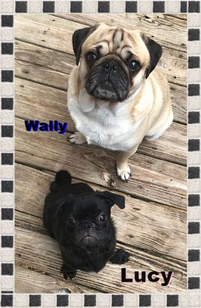 Wally is Lucy's protector. - Multiple Color Pugs - Puppies and Adults | No Matter how little money and how few possessions you own, having a dog makes you rich.