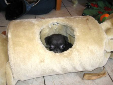 They will never find me in here - Black Pug Puppies | If I have any beliefs about immortality, it is that certain dogs I have known will go to heaven, and very, very few persons.
