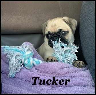 Bai-Lei's Tucker loves car rides! - Fawn Pug Puppies | The greatest fear dogs know is the fear that you will not come back when you go out the door without them.