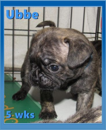 April & Mu's bugg puppy Ubbe - Brindle Pug Puppies | The dog was created specially for children. He is the god of frolic.