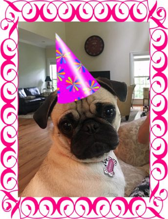 Brandy's Veronica/Jubilee on her 1st birthday. - Adult Fawn Pug | A dog will teach you unconditional love, if you can have that in your life, things won't be too bad.