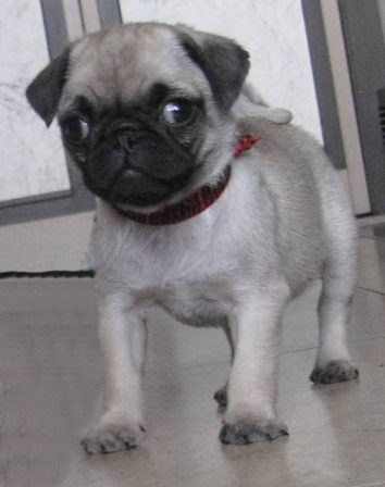 Pumped up and ready to rock - Silver-Fawn Pug Puppies | Outside of a dog, a book is man's best friend - inside of a dog it's too dark to read.