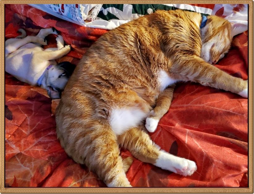 Nap buddies Willow/Violet, tiny pug, and Jaxon, big kitty