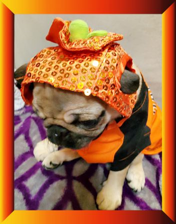 Puddin's Willow/Violet decided she looks good in orange! - Apricot Pug Puppies | My goal in life is to be as good of a person my dog already thinks I am.