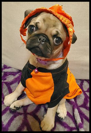 I don't want to play dress up! - Apricot Pug Puppies | I think we are drawn to dogs because they are the uninhibited creatures we might be if we weren't certain we knew better.