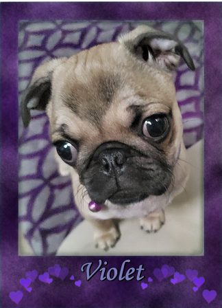 """Check out the """"V"""" on my forehead.  Do you have your own insignia? - Fawn Pug Puppies 