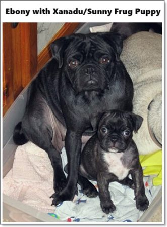 Xanadu/Sunny is a Frug (1/2 pug 1/2 Frenchie) - Brindle Pug Puppies | Dogs feel very strongly that they should always go with you in the car, in case the need should arise for them to bark violently at nothing, right in your ear.