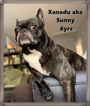 Sunny lives with The Lewandowski Family in Colorado - Adult Brindle Pug | Whoever said you can't buy happiness forgot little puppies.