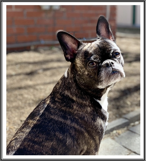 Sunny is a Frug but certainly looks all Frenchie here
