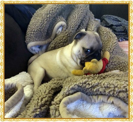 Yao/Winston showing Winnie the Pooh who is boss! - Fawn Pug Puppies | Did you ever walk into a room and forget why you walked in? I think that is how dogs spend their lives.