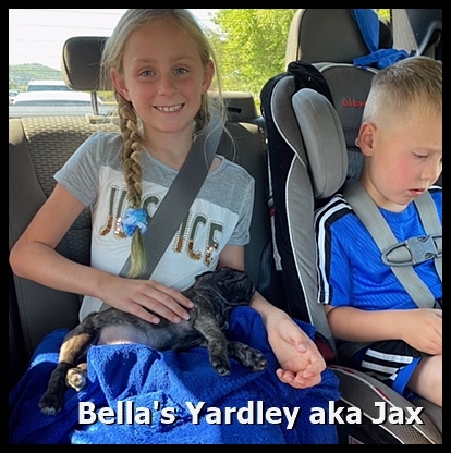 Yardley/Jax is chilled for his ride home. - Brindle Pug Puppies | The dog is a gentleman; I hope to go to his heaven not man's.