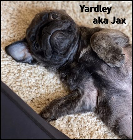 Bella & Sterling's Yardley aka Jax - Brindle Pug Puppies | If you pick up a starving dog and make him prosperous he will not bite you. This is the principal difference between a dog and man.