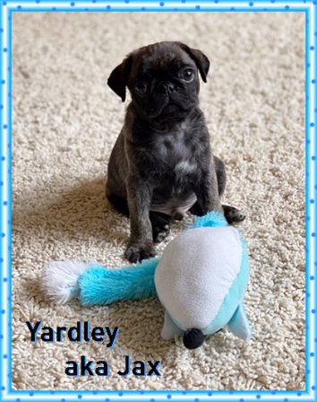 One of my favorite toys! - Brindle Pug Puppies | If dogs could talk, perhaps we would find it as hard to get along with them as we do with people.