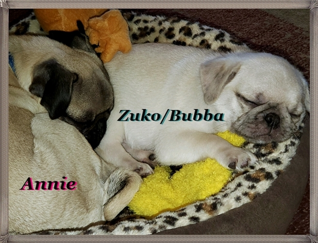 Two very content pugs in a rug!