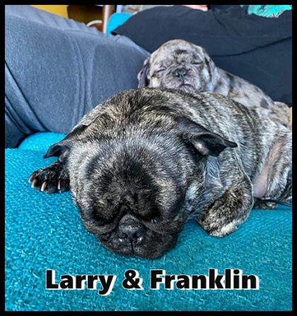 Franklin has found a new BFF - Multiple Color Pugs - Puppies and Adults | There is no psychiatrist in the world like a puppy licking your face.