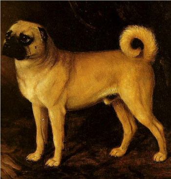 Centuries ago they used to crop pug ears - Adult Apricot Pug | The average dog is a nicer person than the average person.